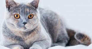 разведение-кошек
