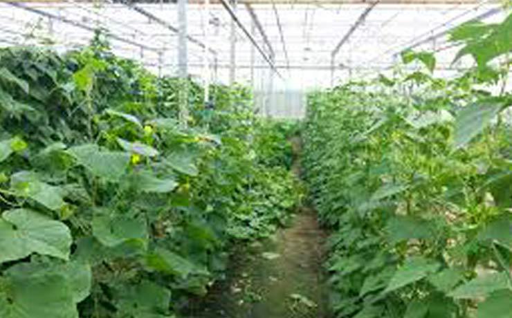 выращивание-в-теплице