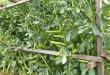 выращивание-стрючковой-фасоли