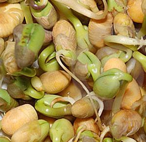 Выращивание фасоли, как бизнес для деревни, села, дачи