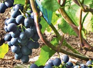 виноград-агат-донской