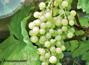 виноград-алешенькин