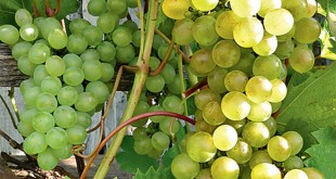 виноград-кристалл