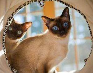 разведение-кошек-как-бизне