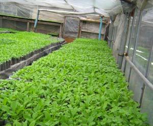 выращивание-зелени-в-теплице