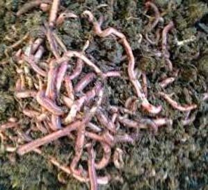 черви-дождевые