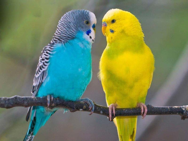 Размножение попугаев - плюсы и минусы бизнеса