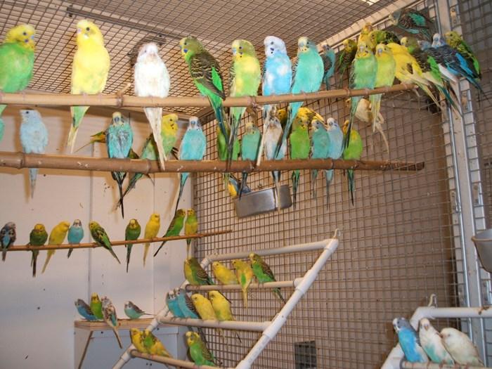 Породы попугаев для разведения