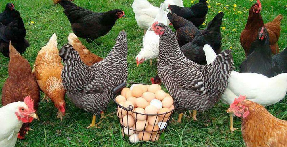 Закупка птицы: какую породу кур выбрать
