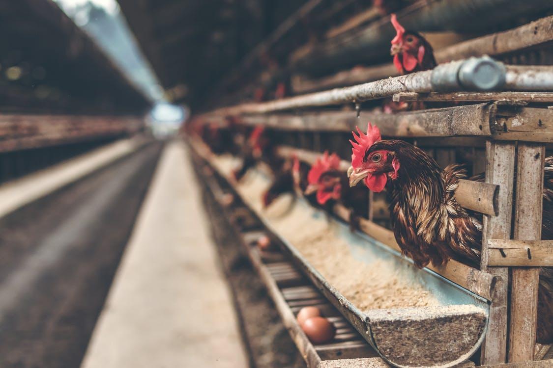 Пошаговый бизнес план открытия мини-птицефермы